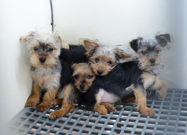 Dogs huddling together in their cage at a puppy mill before being rescued